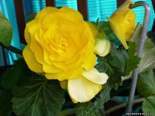Цветы бегония вредители и болезни
