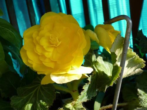 Цветы из семян фото бегония фото